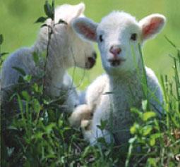 dos-ovejas